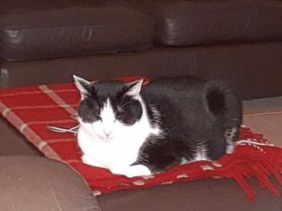 Missing black and white female cat