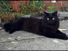 Beautiful cat Cali is missing, have you seen him?