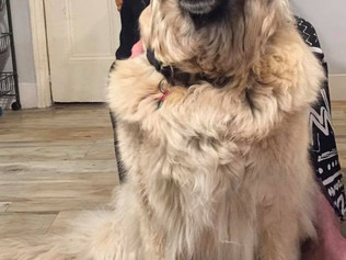 LOST - Elsa our rescue Leonburger female dog last seen Monday 1st May in the Pine Woods