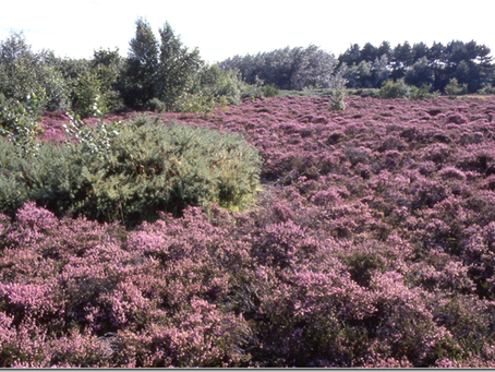 Restoration works for Formby Dune Heath Triangle has been postponed