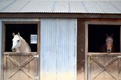 horses-in-barn