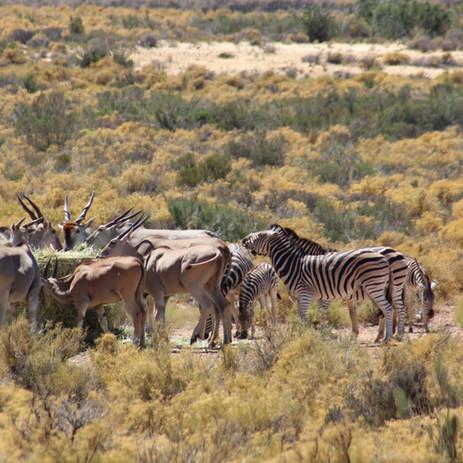 Eland and zebra feeding.JPG