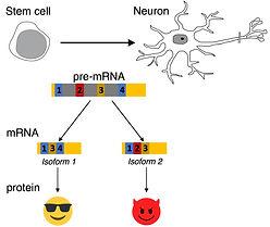 Alternative splicing in neuronal differentiation.