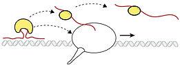 RBP-transcription.jpg