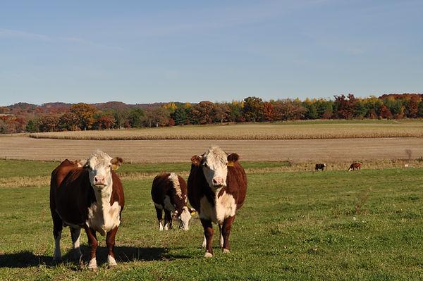 Brookview Acres Wisconsin Cows 4.JPG