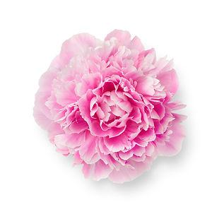 single-fresh-pink-peony-flower-ZA9UB7T.j