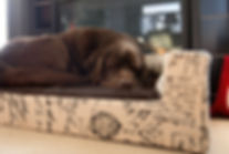 Chocolate Lab on bed