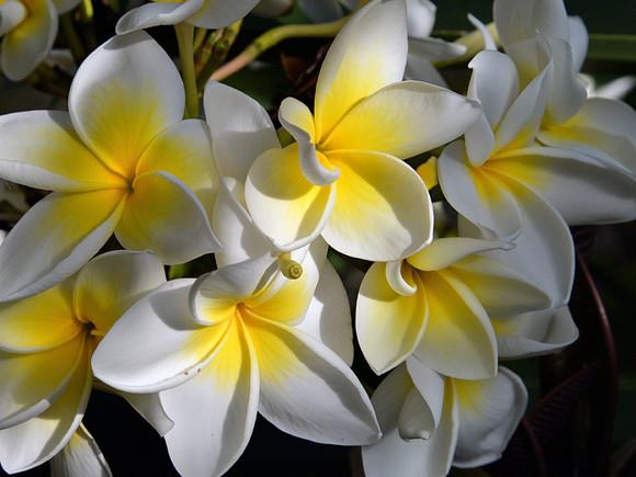 La Palma, Franchipani Blüte