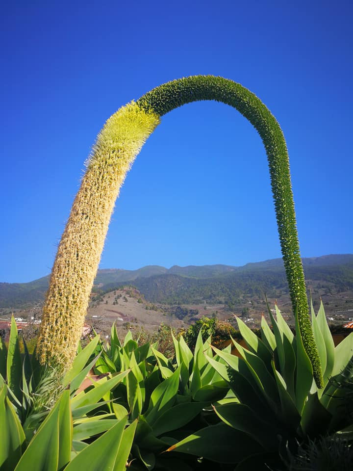 La Palma, Schwanenhals Agave