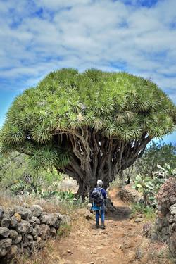 La Palma, Drachenbaum, Wanderung