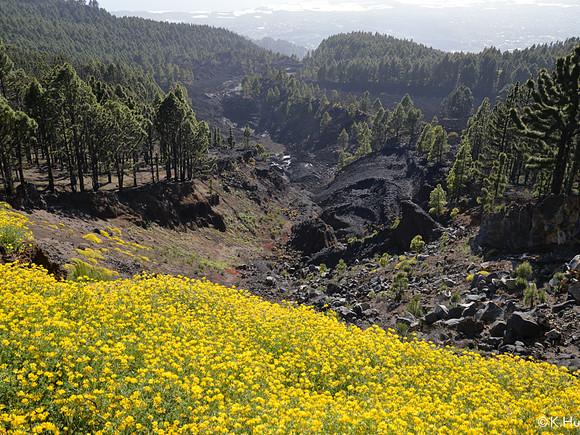La Palma, gelber Klee, Lavafeld