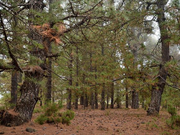 La Palma, typische Wälder