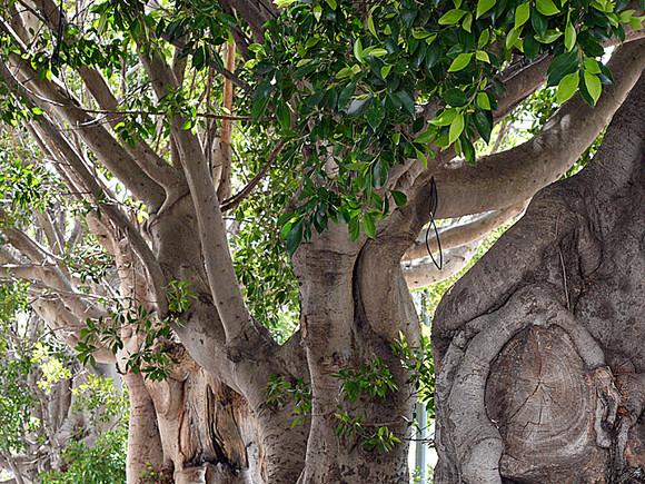 La Palma, alte Lorbeerbäume,Virgen las Nieves