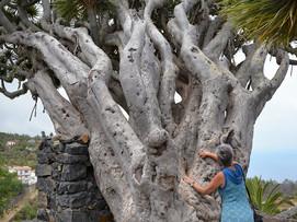 La Palma, fotografische Begleitung zu den Drachenbäumen