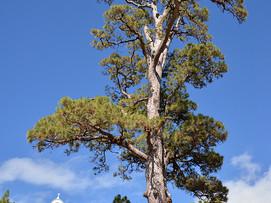 La Palma, Virgen del pino