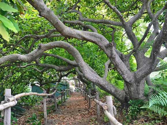 La Palma, Finca la Principal, Avocadobäume