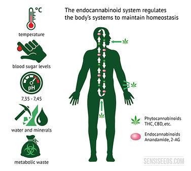 endocannabinoid-homeostasis-en.jpg
