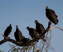 Big Saturday Read: A vultures' feast