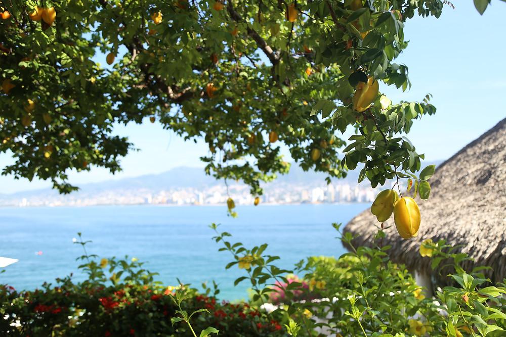 carambola- starfruit tree