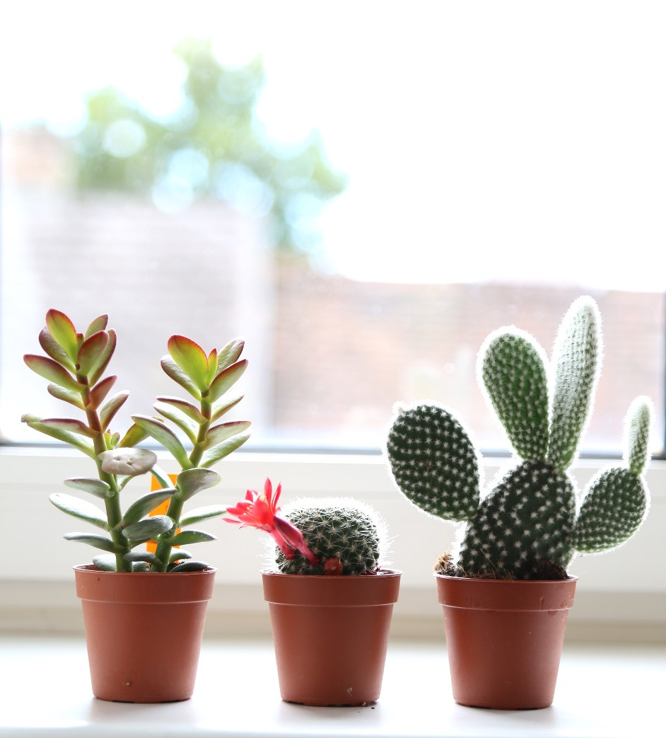 Mini cacti and succulent plants