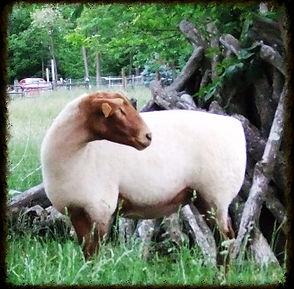 shadybrook farm tunis sheep