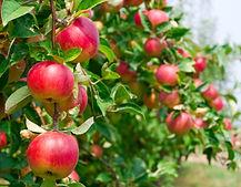 Äpfel_NEU.jpg