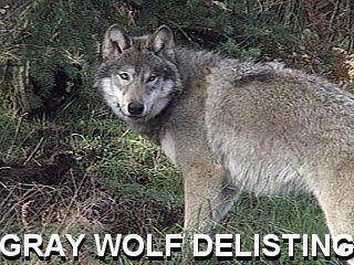 LCO Conservation Addresses Delisting of the Gray Wolf