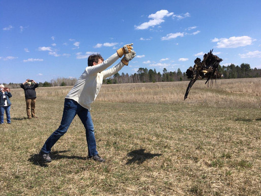 Eagle Released at College Farm