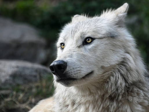 Wisconsin officials double down on disastrous wolf policy