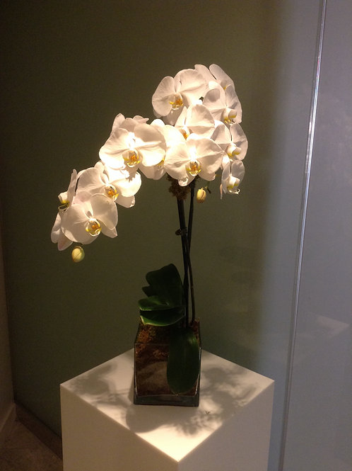 Blanc Orchid Plant