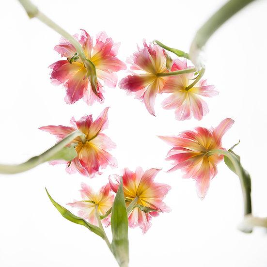 Tulpen_02