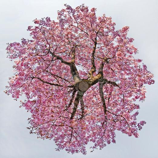 PrunusSerrulata_72dpi.jpg