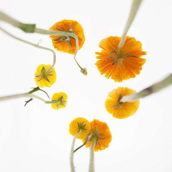 Ranunkeln_orange