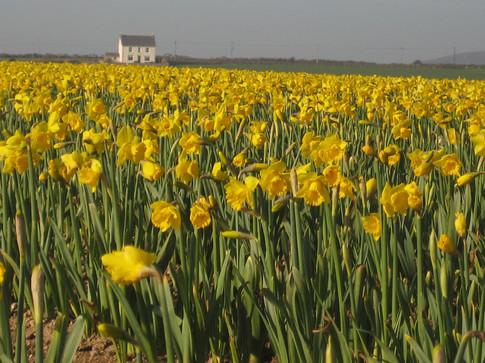 Daffodils in February