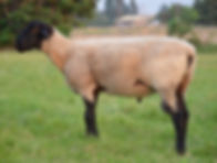 "Suffolk Ram- ""Ferdinand"" Side"