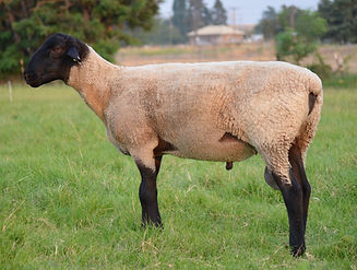 "Suffolk Ram- ""Ferdinand"" Side"