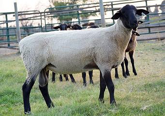 Suffolk Ram