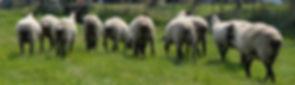 Suffolk Ewes, rear view