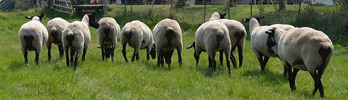 Suffolk Ewes, rear view