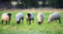 Suffolk ewes grazing