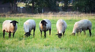 Suffolk ewes grazing