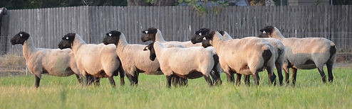 Suffolk Ewes, Side View