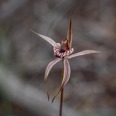 Kalbarri Spider Orchid