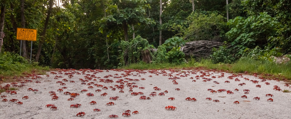 Females starting their march back to the jungle after spawning