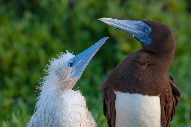 Brown booby mother and chick