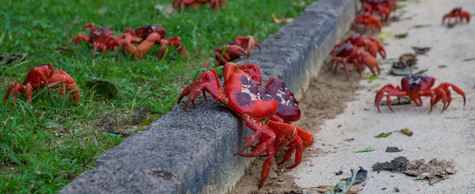 Red crabs marching