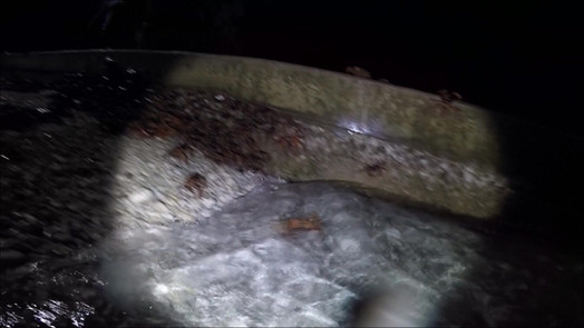 Red Crab Spawning at the Cove video
