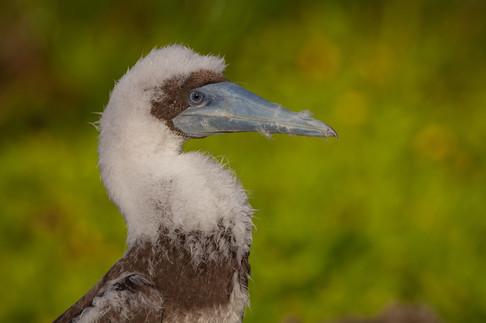 Brown booby juvenile
