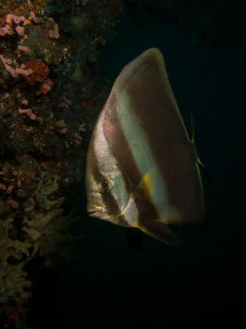 Batfish in the deep