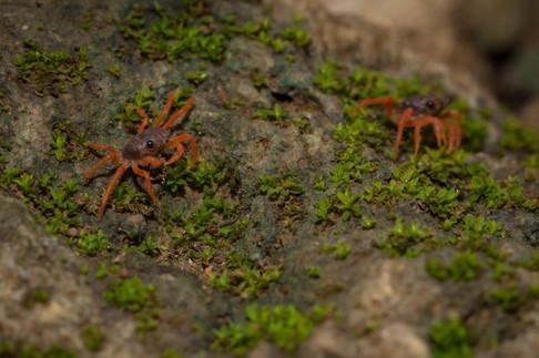 Red crab juvenile munching
